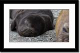 Elephant Seal Cub
