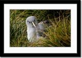 A Fierce Looking Grey-Headed Albatross