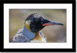 A Molting King Penguin