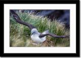 Nesting Grey-Headed Albatross