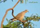 Collared Dove.jpg