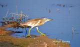 DSC_2406 Squacco Heron.jpg