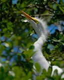 Great Egret Baby 6071.jpg