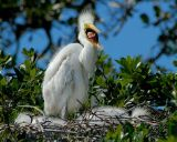 Great Egret Baby4265.jpg