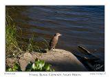 18Aug06 Black-Crowned Night-Heron - 13317