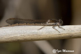 Sympecma fusca - Common Winter Damsel