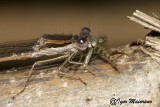 Sympecma fusca - Common Winter Damsel