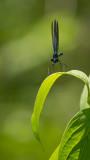 Demoiselle bistrée - Calopteryx maculata