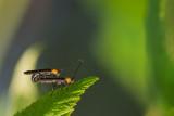 Anneleurs du framboisier - Raspberry cane borer - Oberea affinis