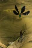 Demoiselles bistrées - Calopteryx maculata