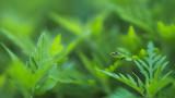 Euaresta bella sur Herbe à poux
