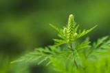Herbe à poux (Ambrosia artemisiifolia L.)