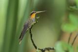 Saw Billed Hummingbird  (Zwaardkolibrie)