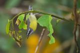 Bananaquit  (Suikerdiefje)