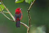 Brazilian tanager (Rode tangare)