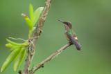 Festive Coquette  (Gepluimde Koket kolibrie)