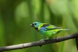 Green headed tanagre  (Pracht tangare)