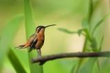 Reddish Hermit  (Rode heremiet kolibrie)