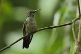 Sombre hummingbird (Sombere kolibrie)