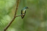 Versicoloured emirald  (Regenboogamazilia)