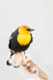Carouge à tête jaune - Yellow-headed blackbird - Xanthocephalus xanthocephalus