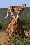 Cheetah on Anthill looking for dinner