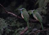 Blue-bearded Bee-eaters