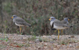 Grey-headed Lapwings