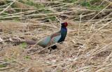 Japanese Green Pheasant