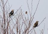 Chestnut-eared Starlings