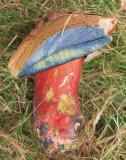 Boletus luridiformis Budby Sep-10 Marion Bryce