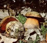 Boletus luridus Lurid Bolete University 18-8-84 HF