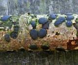 Diatrype bullata barkspot Willow Bestwood 01-08 RR