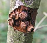 Encoelia furfuracea Spring Hazelcup BestwoodCP 10-05 AW