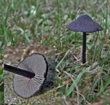 Entoloma serrulatum MansfieldCemetery Sep-11 RR