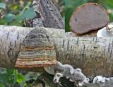 Fomes fomentarius Hoof fungus SellersWood 9-12-06 RR