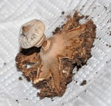 Geastrum striatum Striate Earthstar Lound 11-07 HM