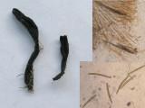 Geoglossum glutinosum BestwoodCP Oct-12 HW