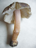 Inocybe oblectabilis CarltonWood Howard Williams