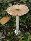 Volvariella gliocephala Stubble Rosegill Attenborough Nov-11 SA