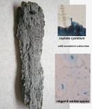 Xenasma pulverulentum on rotten hardwood Dyscarr Wood Mar-11 Howard Williams