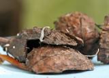 Xylaria carpophila Beechmast Candlesnuff BeestonSidings May-07 RR