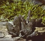 Xylaria polymorpha Dead Man's Fingers University 15-9-82 HF