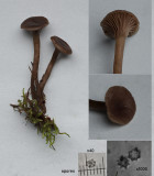 Tephrocybe tylicolor Sherwood Golf Course Oct-12