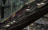 Trametes suaveolens on willow AttenboroughNR Oct-11 RR