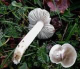 Tricholoma virginatum Carlton in Lindrick churchyard Nov-10 HW