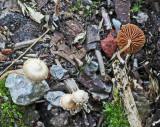 Tubaria conspersa Felted Twiglet SherwoodForest 26-8-07 RR
