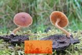 Tubaria furfuracea Scurfy Twiglet Willow AttenboroughNR RR