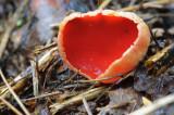 Sarcoscypha austriaca Scarlet Elfcup Haywood Oaks John Brown