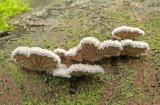Schizophyllum commune Splitgill AttenboroughNR Peter Smith